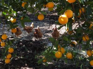 Galline felici ? Des poules heureuses !
