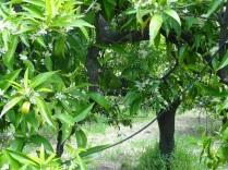 ...et petites dérivations jusqu'à terre pour chaque arbre. Un très gros travail dont Cristiana espère voir rapidement les effets en terme d'efficacité et d'économie d'eau.