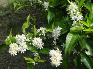 En cette fin avril, les clémentiniers sont en fleurs : c'est la fameuse zagara et son entêtant parfum miellé.