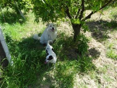 Ubaldo et Kamilia, deux des nombreux chiens du domaine. Mais il y a aussi Cataldo, Giovani, etc. etc. etc.
