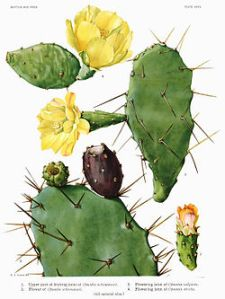 250px-Opuntia16_filtered